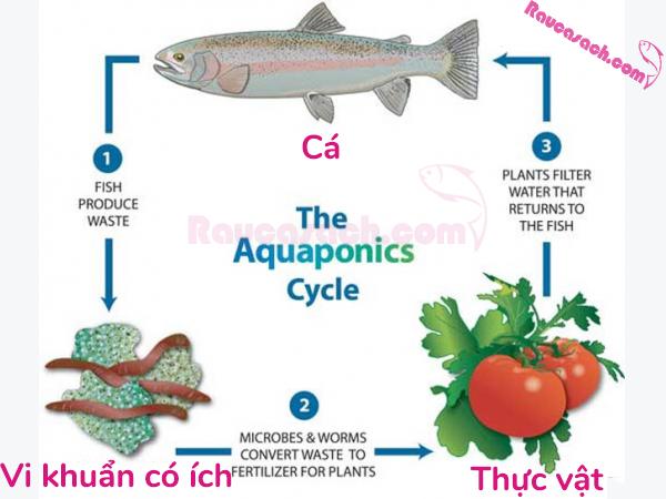 Aquaponics-la-gi-2