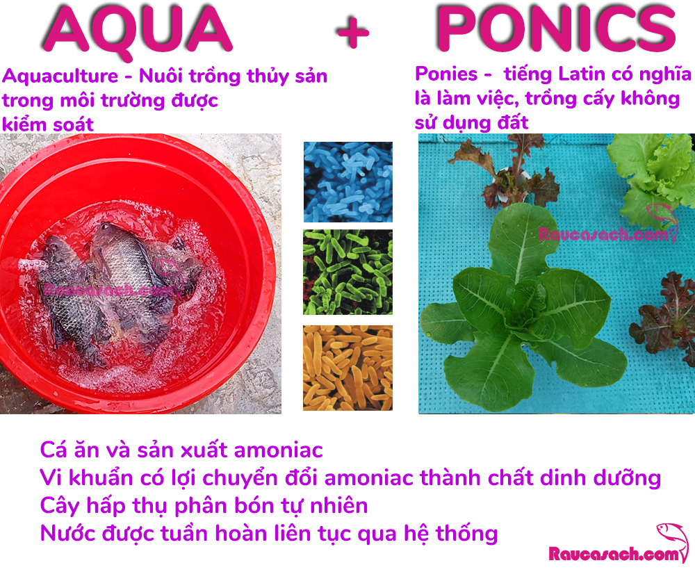 Thế nào là aquaponics