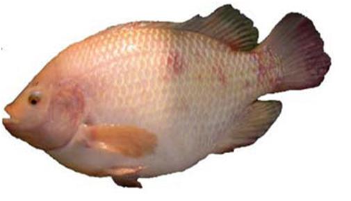 cá bệnh