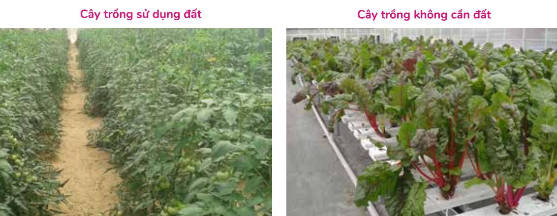 cay-trong-aquaponics vs cay trong dat