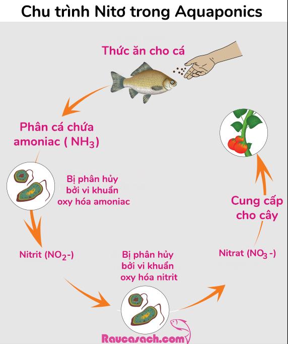 chu-trinh-nito-trong-aquaponics